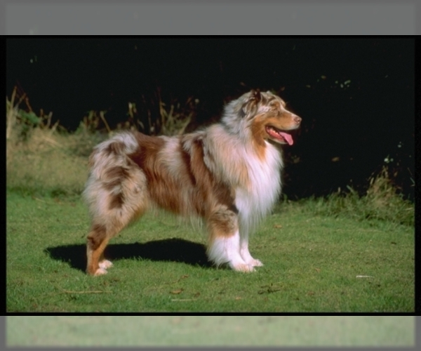Medium Photo #1 Australian Shepherd Dog Breed