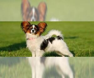 Small #2 Breed Papillon image