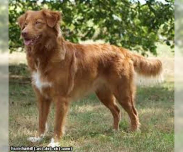 Medium Photo #7 Nova Scotia Duck Tolling Retriever Dog Breed