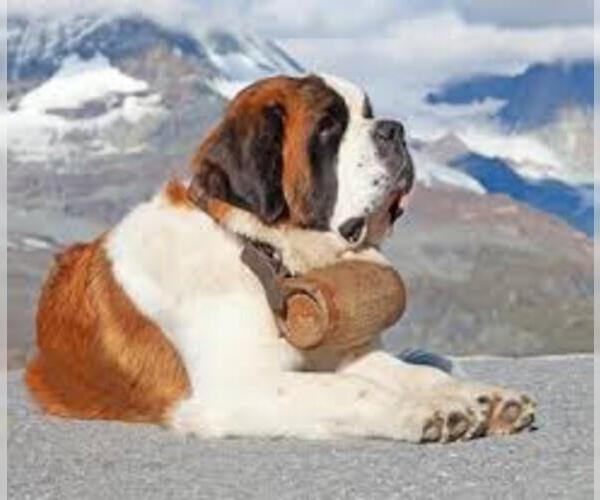 Medium Photo #7 Saint Bernard Dog Breed