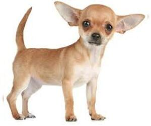 Small Photo #4 Chihuahua Dog Breed