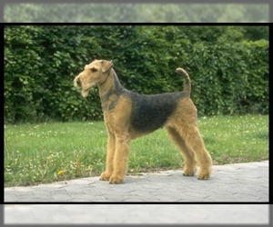 Airedale Terrier puppies for sale and Airedale Terrier dogs for adoption