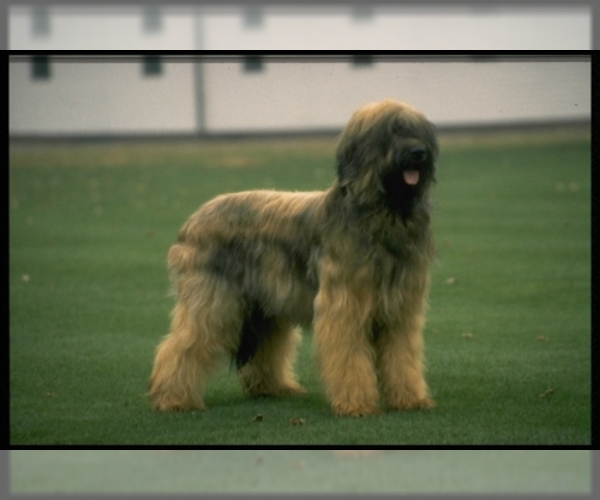 Image of Briard Breed