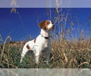 Small #1 Breed Brittany image