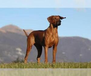 Small #2 Breed Rhodesian Ridgeback image