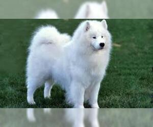 Small #7 Breed Samoyed image