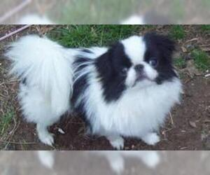 Small #2 Breed Japanese Chin image