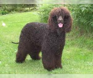 Small #6 Breed Irish Water Spaniel image