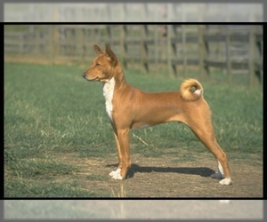 Image of breed Basenji