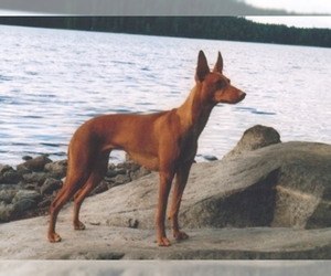 Image of Cirneco Dell' Etna breed
