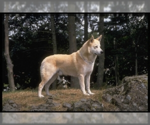Image of Canaan Dog breed