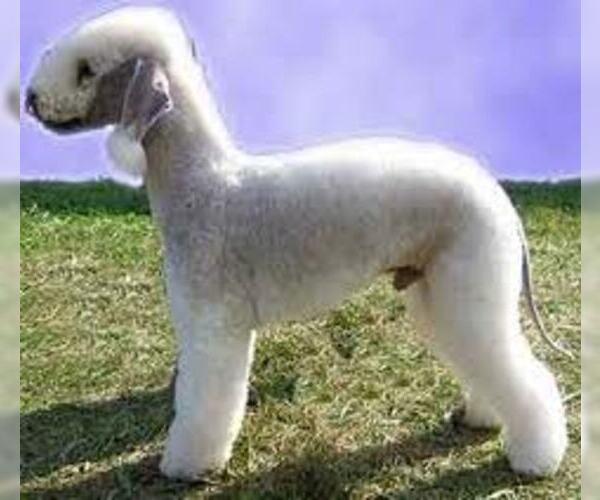 Medium Photo #5 Bedlington Terrier Dog Breed