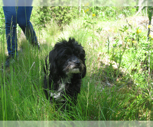Small #5 Breed Havanese image