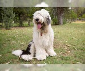 Small #6 Breed Old English Sheepdog image