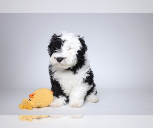 Small #1 Breed Sheepadoodle image