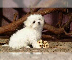 Small #2 Breed Maltese image