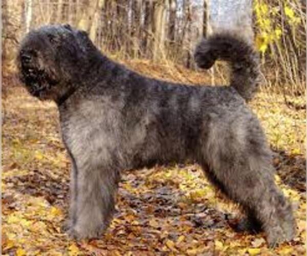 Medium Photo #3 Bouvier Des Flandres Dog Breed