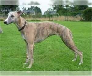 Small #1 Breed Whippet image