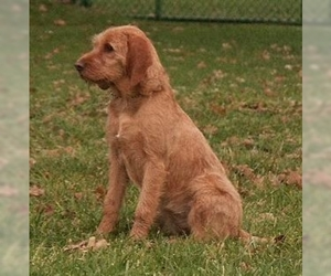 Image of Fawn Brittany Griffon Breed