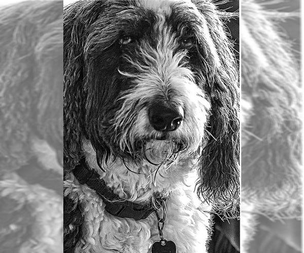 Medium Photo #3 Aussiedoodle Dog Breed