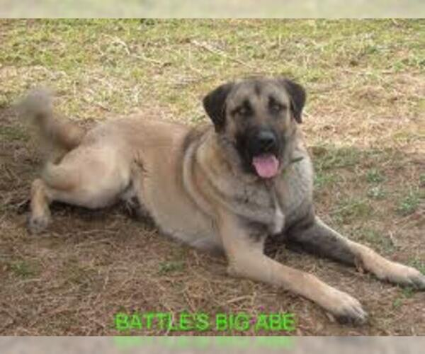 Medium Photo #5 Anatolian Shepherd Dog Breed