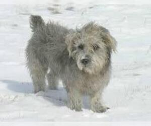 Small #1 Breed Glen of Imaal Terrier image