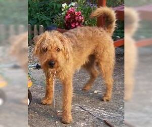 Small #2 Breed Lakeland Terrier image