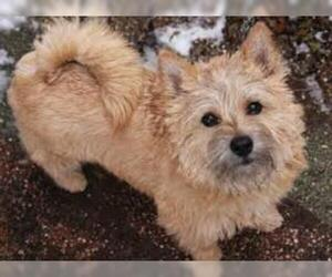 Small #1 Breed Norwich Terrier image