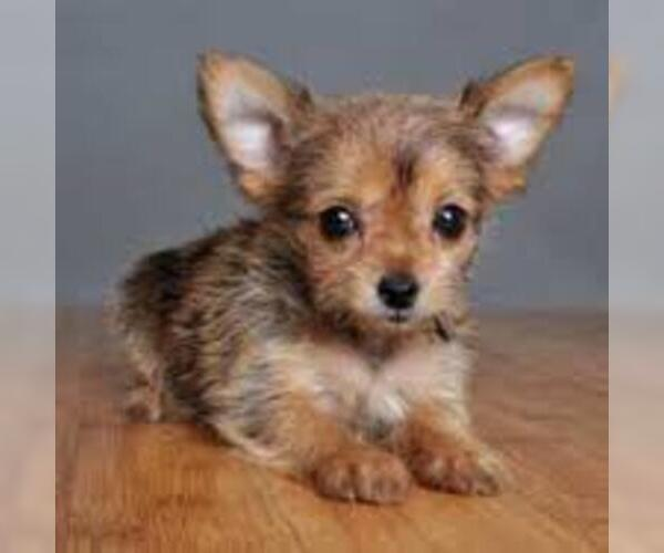 Image of Chorkie Breed