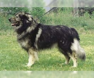 Image of Karst Shepherd Breed