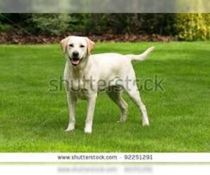 Small #2 Breed Labrador Retriever image