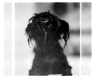 Image of Affenpinscher breed