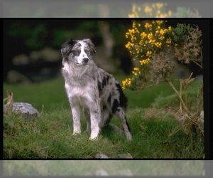 Image of Border Collie breed
