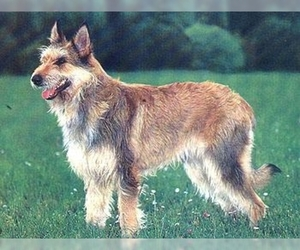 Image of breed Berger Picard
