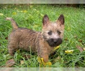 Small #2 Breed Cairn Terrier image