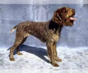 Small #4 Breed Wirehaired Pointing Griffon image