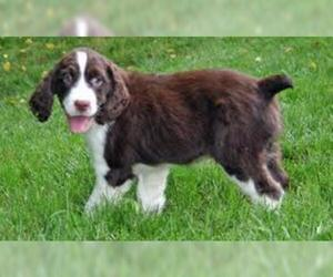Small #2 Breed English Springer Spaniel image