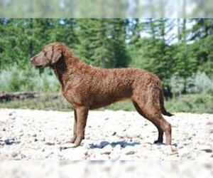 Small #2 Breed Chesapeake Bay Retriever image