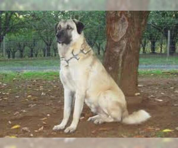Medium Photo #4 Anatolian Shepherd Dog Breed