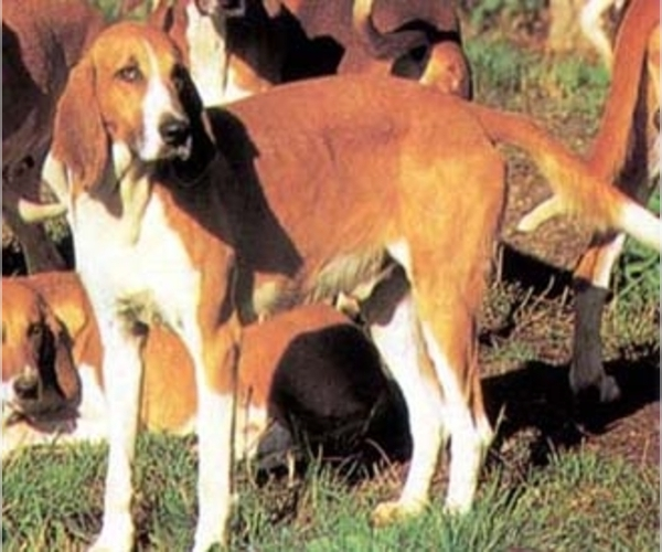 French White and Orange Hound