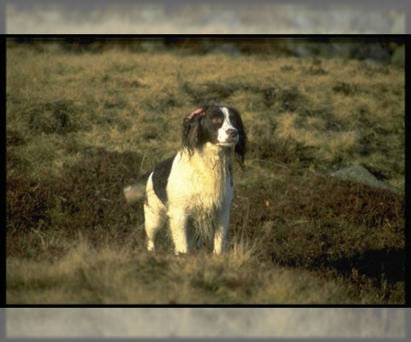 Image of English Springer Spaniel Breed