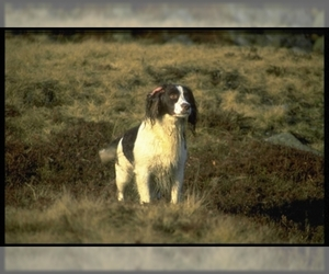 Samll image of English Springer Spaniel
