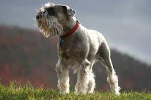 Small #2 Breed Schnauzer (Standard) image