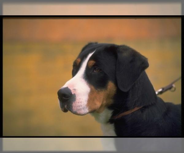 Medium Photo #2 Greater Swiss Mountain Dog Dog Breed