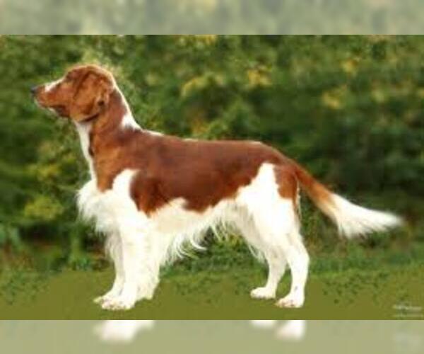 Medium Photo #6 Welsh Springer Spaniel Dog Breed