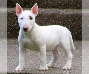 Small Photo #1 Miniature Bull Terrier Dog Breed