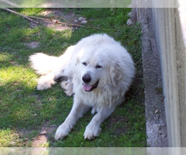 Image of Great Pyrenees Breed
