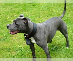 Irish Staffordshire Bull Terrier Breed Information And