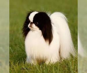 Small #4 Breed Japanese Chin image