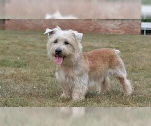 Small #6 Breed Glen of Imaal Terrier image